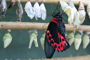 Butterfly: A Papilio butterfly newly emerged from its chrysalis.