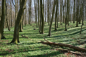 Spring woodland: Beech (Fagus) woodland with ground cover of anemones in Denmark in spring.