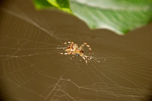 Orb-weaver spider and the vict