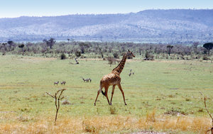 African landscape with wild gi: Animal in Masai Mara National Park