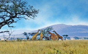 African landscape with wild 5: African national park - giraffes herd in Serengeti
