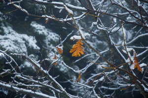 leaf: a last leaf that remains on the frozen tree in winter