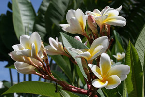 Frangipani cluster: Frangipani flowers in China.