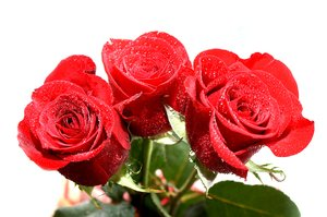 roses: red roses