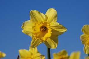 Wild daffodil 5: Wild daffodil. Widely used in Sweden in connection with Easter.