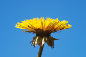 Dandelions 4: Dandelions, a very common weed in many parts of the world.