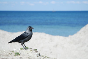Jackdaw: Jackdaw on sand beach, Malmö, Sweden.