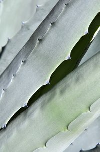 Agave: Agave close up