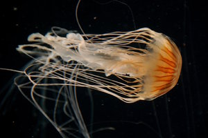 Medusa: Jellyfish also jellies or sea jellies are free-swimming members of the phylum Cnidaria. Jellyfish have several different morphologies that represent several different cnidarian classes including the Scyphozoa (over 200 species), Staurozoa (about 50 specie