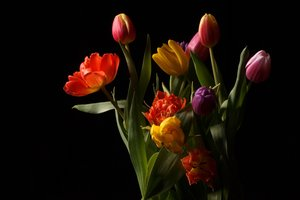 Tulips: Tulips isolated with black background
