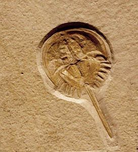 Fossil horseshoe crab: Fossils are the preserved remains or traces of animals, plants, and other organisms from the remote past. The totality of fossils, both discovered and undiscovered, and their placement in fossiliferous (fossil-containing) rock formations and sedimentary