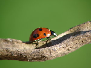 ladybug: a ladyburd walking on a twig