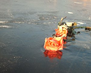 Rose on ice: A rose found discarded on a frozen pond
