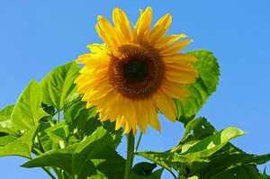 Sunflower Sunshine 4