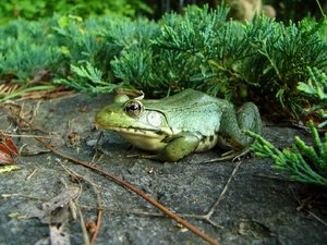 Green Frog: Rana clamitans relaxing beside our garden pond