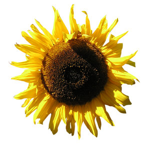 Sunflower: Just a sunflower.