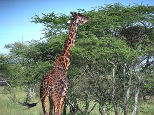 giraffe 1: photo taken in Tanzania
