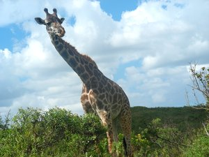 giraffe 4: photo taken in Tanzania