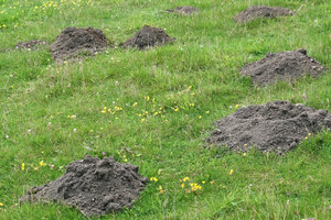 Molehills: Molehills in a meadow in Surrey, England.