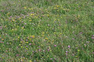 South Downs flora