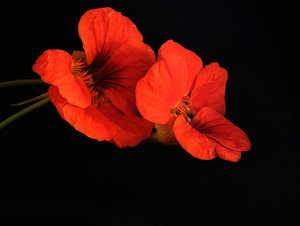 Nasturtiums 2: Nasturtiums from my back yard. I love the colour.