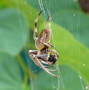 Large Garden Spider: A really large spider devouring something.