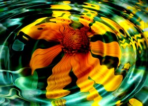 Sunflower Reflection: Mexican sunflower reflected in water ripples. Peaceful and pretty.