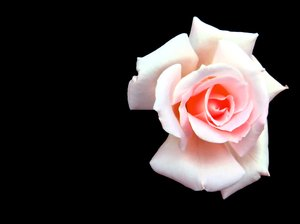 Rose - Pale Pink 2: Beautiful pink rose on a black background. You may prefer:  http://www.rgbstock.com/photo/2dyVpyq/Rose+Dream  or:  http://www.rgbstock.com/photo/mikJqII/Abstract+Rose+3  or:  http://www.rgbstock.com/photo/2dyVo13/Pink+Rose