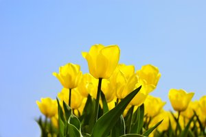 Yellow tulips: bunch of yellow tulips against blue sky