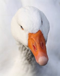 Goose Up Close