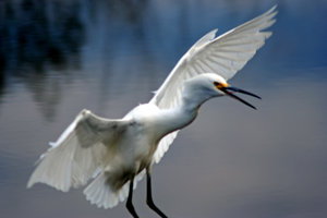Surprised Egret: I surprised him on my walk in Seabrook, Texas.