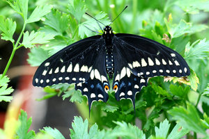 Black Butterfly Beauty: This butterfly almost went extinct here but was re-introduced 2 years ago.  They are thriving now on the Texas Gulf Coast