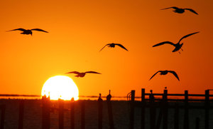 Sunrise with Seagulls: Silhouette  of seagulls flying in the shadow of the sunrise over Galveston Bay on 2-4-06