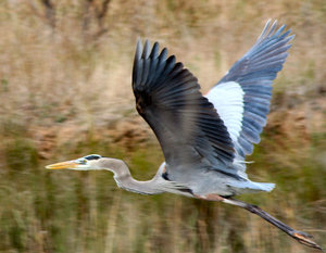 Heron in Flight: On my walk I spotted him and grabbed a picture as he flew away.