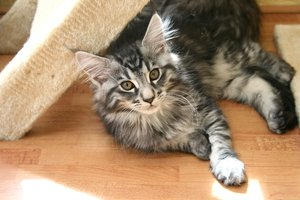 Enzo: Enzo is a 12 week old Maine Coon and has just arrived.