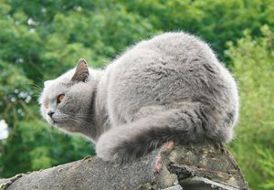 Biffi - British Shorthair 5