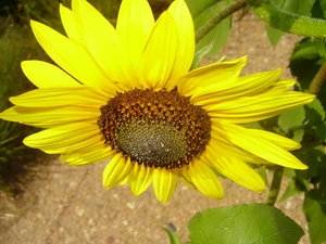 black-eyed-susans 3