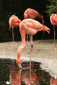 Drinking Flamingo: Drinking flamingo in the zoo of Antwerp