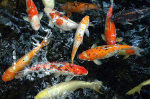 United Colours of Koi