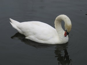 swan's cleaning