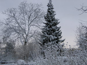 snowy trees: snowy trees in our city gardens