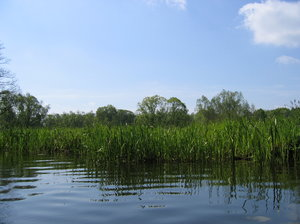 reeds at water in Spree Forest