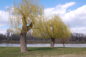 willow of spring