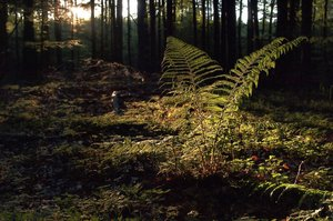 Fern: Fern with backlight from an early spring forest.