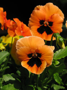 orange pansy: none
