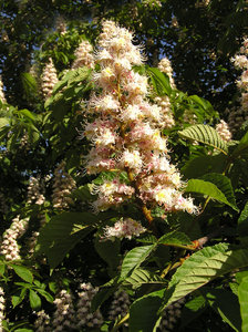 Blooming chestnut