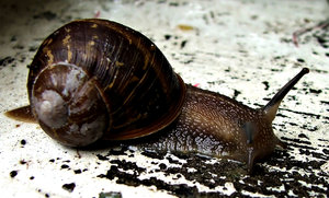 slow & slippery: common garden snail on the move