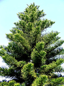 Norfolk pine: the shapes, textures and colour of Norfolk pine trees and branches