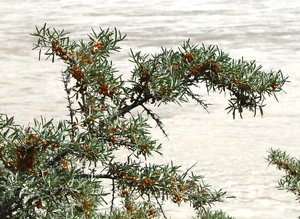 Sea-buckthorn Plants