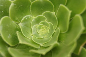 natural rosette: Aeonium - a genus of plants of the family Crassulaceae